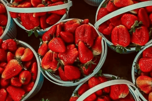 Strawberries at Darnell Farms